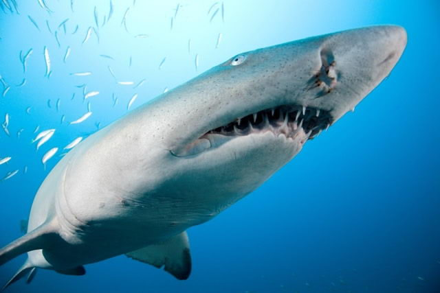 sand tiger shark pictures