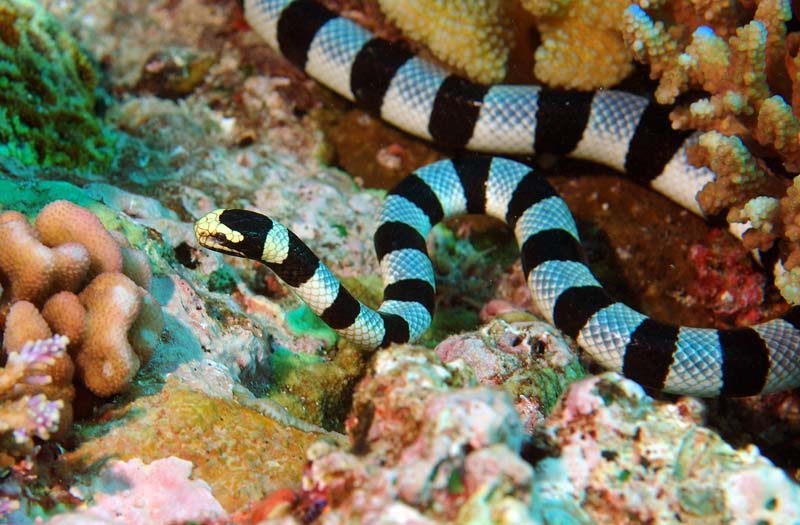Sea Snake Facts | Sea Snake Diet & Habitat