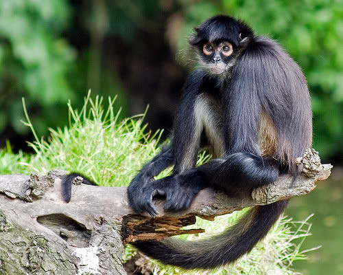 spider monkey facts