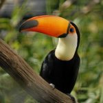 Toucan Facts For Kids | Toucan Diet & Habitat
