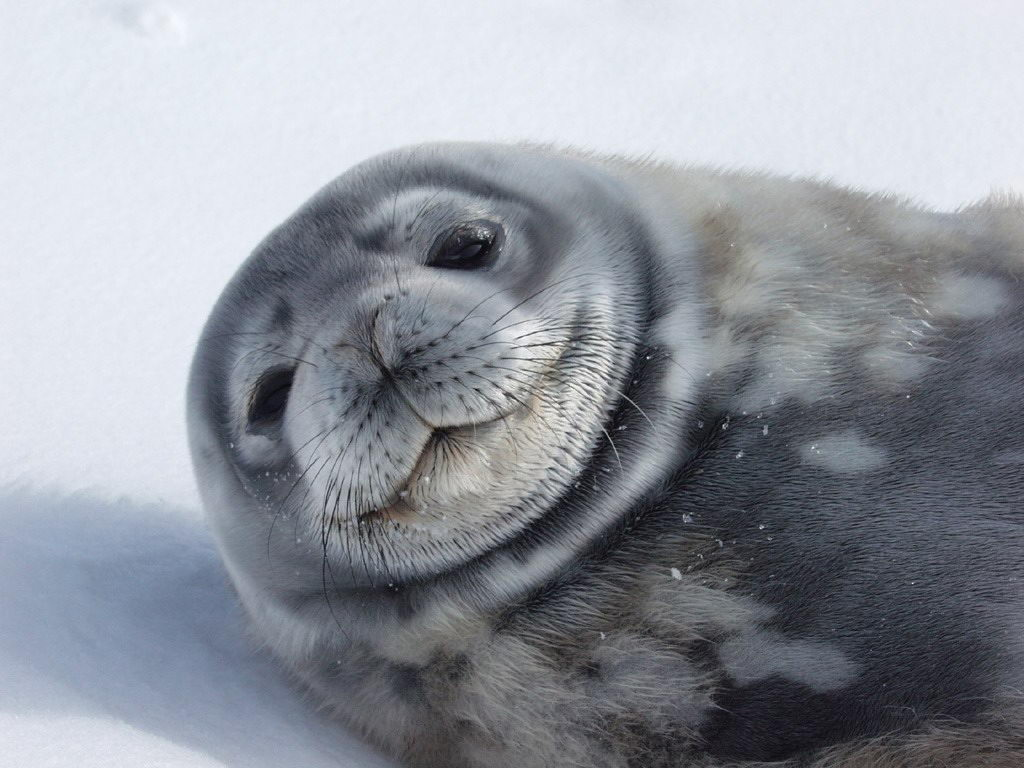 weddell seal facts