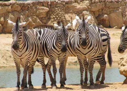 African Animals For Kids - Zebras