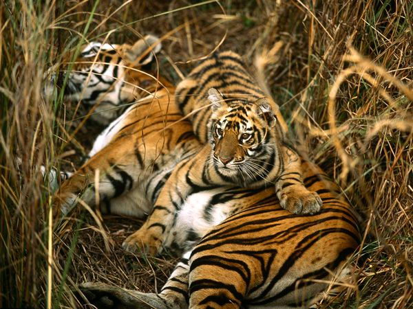 Bengal Tigers - Facts about tigers for kids - Animals Time