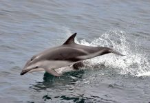 Dusky Dolphin - Dolphins facts for kids