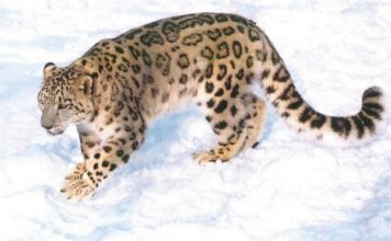 Endangered Snow leopard - Snow leopards facts