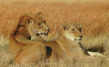 Lions - Information about lions