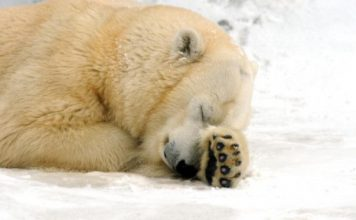 Polar bear is sleeping - adaptations of a polar bear