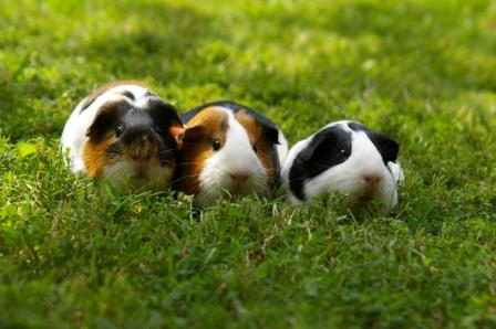what can guinea pigs eat | guinea pigs