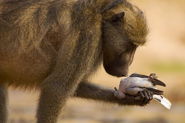 african animals for kids, baboon