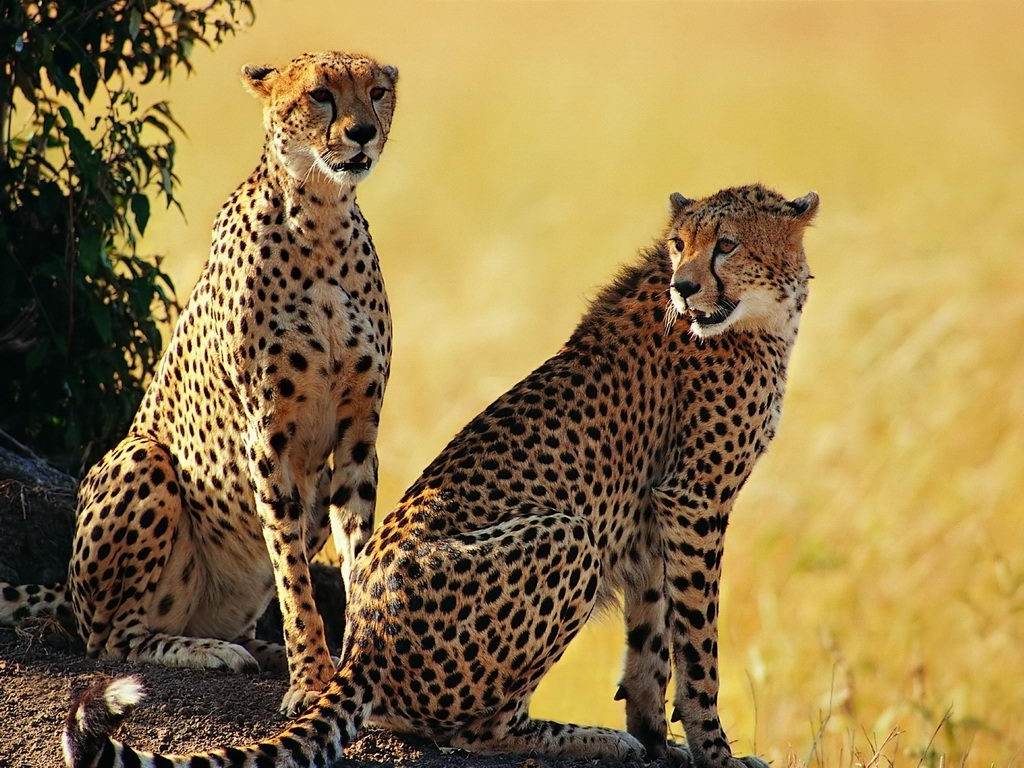 african animals for kids | Pair of cheetah