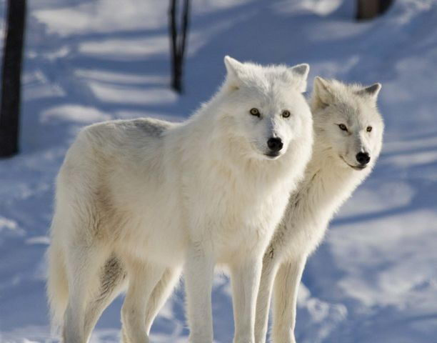related pictures arctic wolves - photo #5