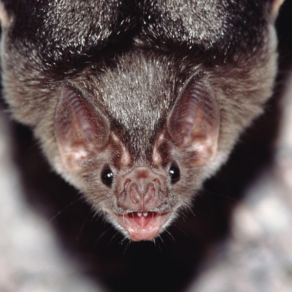 bat facts for kids
