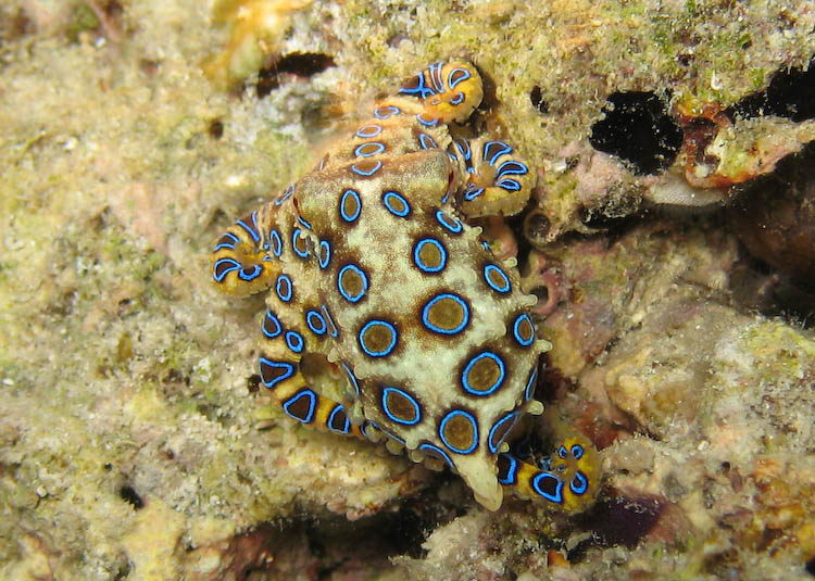 blue ringed octopus facts   blue ringed octopus