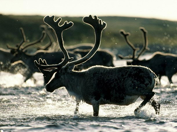 Reindeer Facts For Kids - Caribou (Rangifer tarandus)