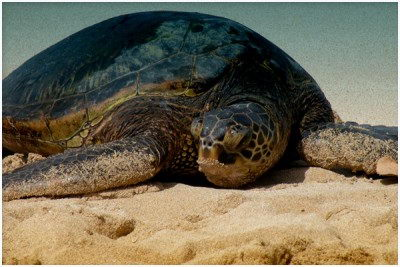 cute endangered animals | leatherback sea turtle