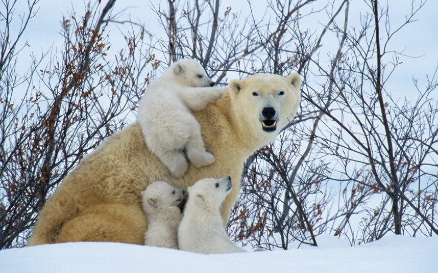 Do Polar Bears Hibernate | Polar Bears Hibernation