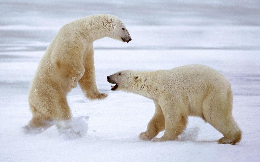 do polar bears hibernate - Two Polar Bears Play-fight in Churchill, Canada