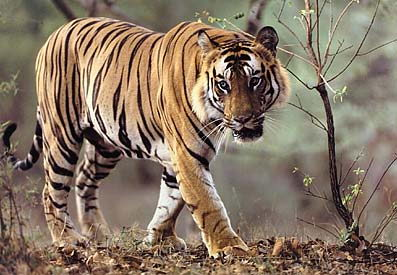 endangered animals facts | bengal tiger