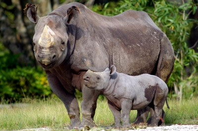 endangered animals facts | black rhinoceros
