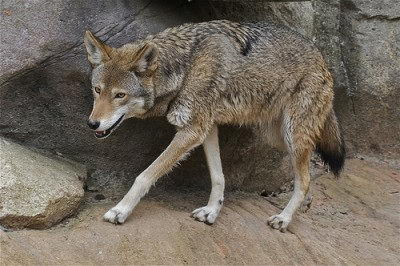 endangered animals facts | red wolf