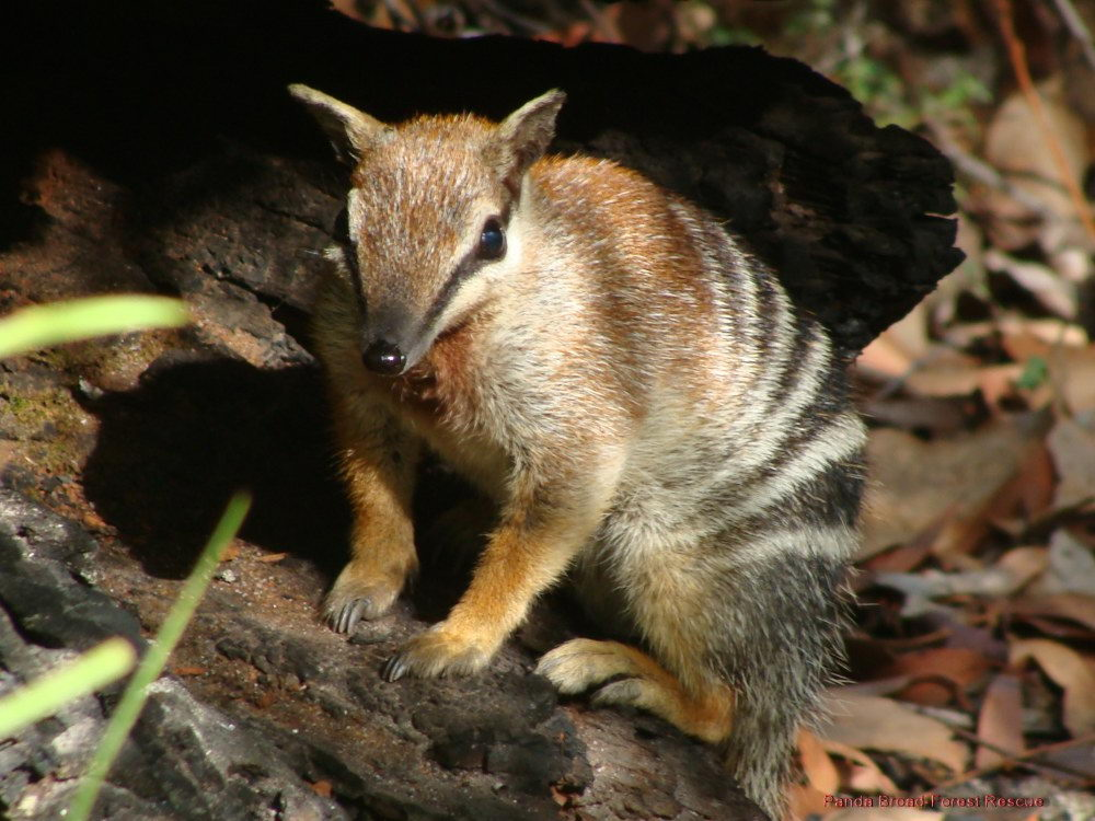 Endangered Animals Australia List Critically Endangered Animals on all about numbats