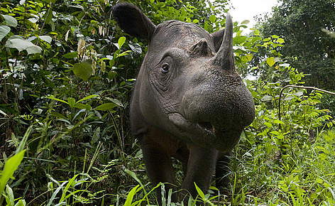 Sumatran Rhinoceros critically endangered animals in india