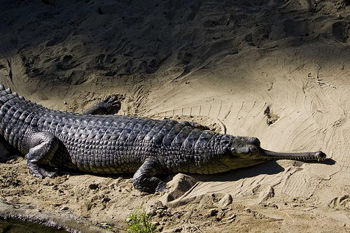 Gharial Crocodile critically endangered animals in india