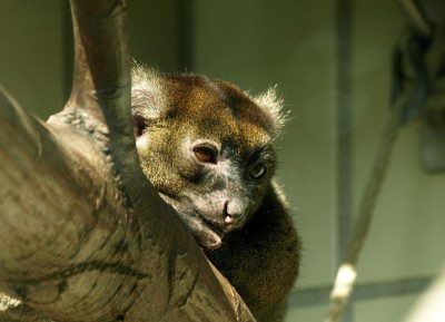 Endangered Species Facts Greater Bamboo Lemur (Prolemur simus)