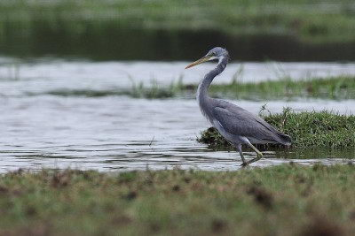 Endangered Species Facts - White-bellied Heron (Ardea insignis)