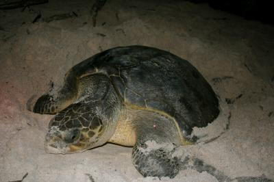 Pacific ridley (Lepidochelys olivacea)