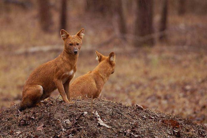 Indian wild dog (Cuon alpinus)
