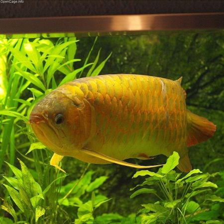 Asian arowana (Scleropages formosus)
