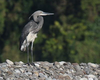 White-bellied Heron - endangered species of India