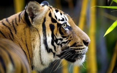 endangered species - Bengal Tiger