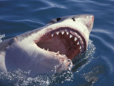 inteersting great white sharks facts