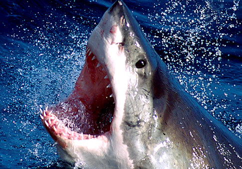 great white sharks facts