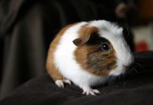 guinea pig life span - cute guinea pig picture
