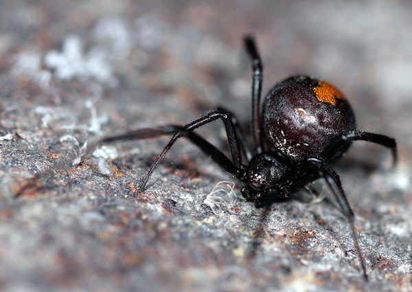 red back spider facts for kids