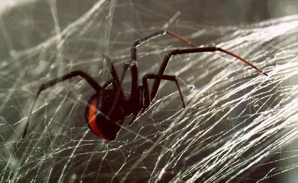 red back spider pictures
