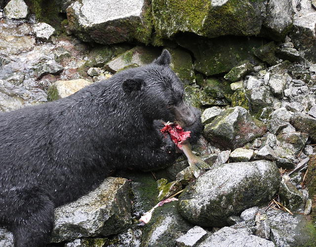 what do black bears eat in the wild