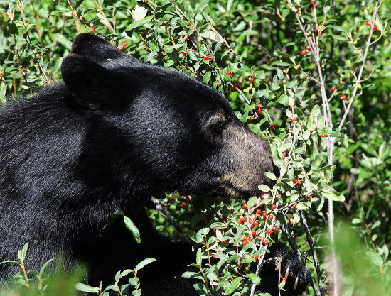 Bears Like to Eat What do Black Bears Eat | What
