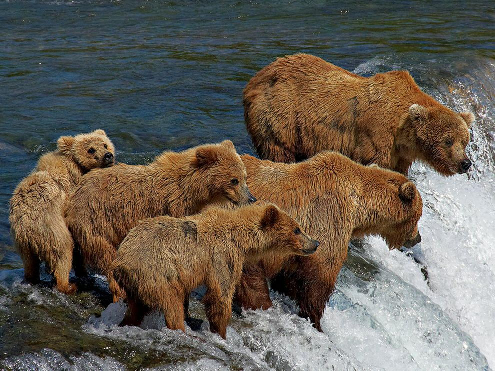what do grizzly bears eat in the wild