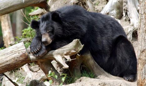 where do bears live | where do asian black bears live