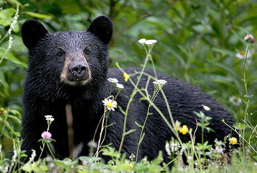 where do bears live | where do american black bears live