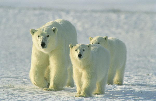 where do bears live | where do polar bears live