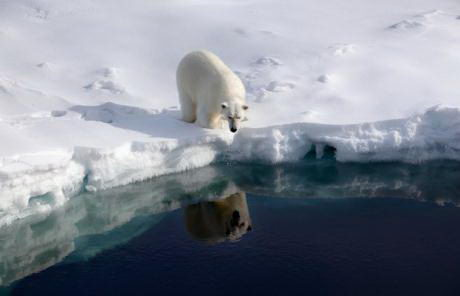 why are polar bears endangered Why Are Polar Bears Endangered | Top 2 Reasons