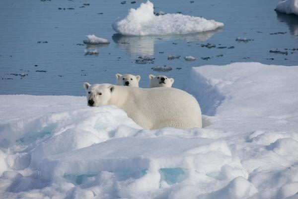 why are polar bears endangered1 Why Are Polar Bears Endangered | Top 2 Reasons