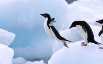interesting adelie penguin facts | adelie penguins