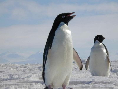 amazing adelie penguin facts | adelie penguins