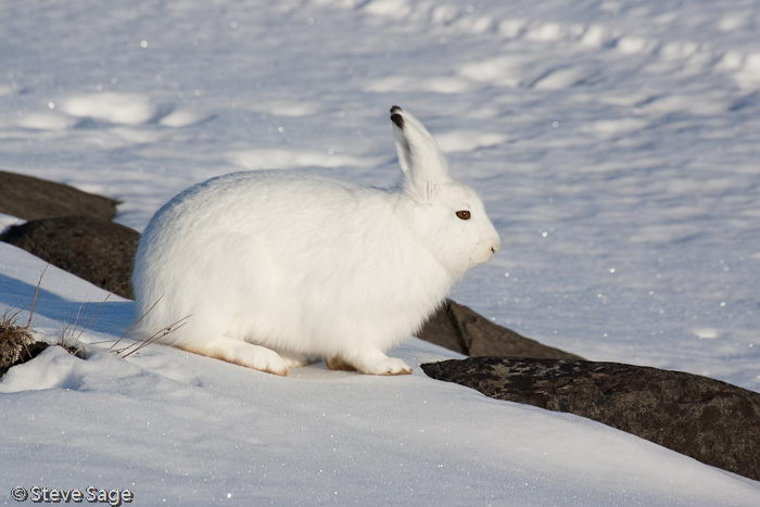 interesting arctic hare facts | arctic hare